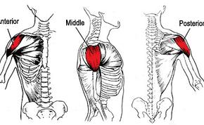 anterior deltoid muscles - photo #8